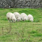 Opinion: The sheep are my alarm clock