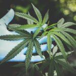 Should Ireland legalise recreational marijuana?
